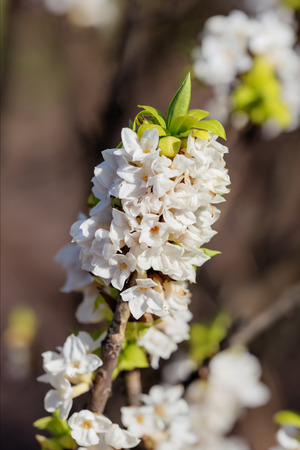 white blooming daphne in spring close up photo