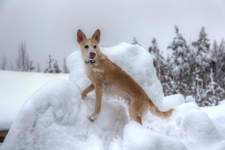 snowdrifts: portrait of a dog among winter snowdrifts Stock Photo