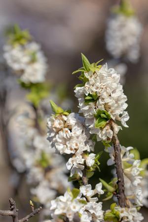 dafne: bianco daphne fiorisce in primavera close up