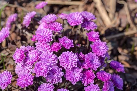 liverwort: pink double-flowering liverwort in spring close up
