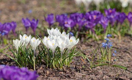 white and purple crocuses in spring day photo