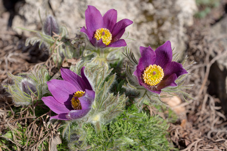 pasqueflower: blooming pasque-flower in spring day close up