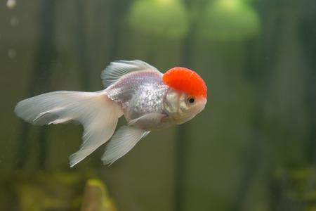oranda: Red cap oranda goldfish in an aquarium closeup