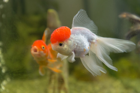 oranda: Red cap oranda goldfish in an aquarium