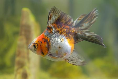 oranda: Red cap oranda pesci rossi in un acquario primo piano