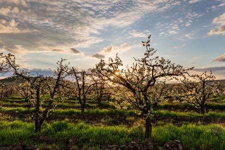 alberi da frutto: giardino fiorito con alberi da frutto all'alba Archivio Fotografico