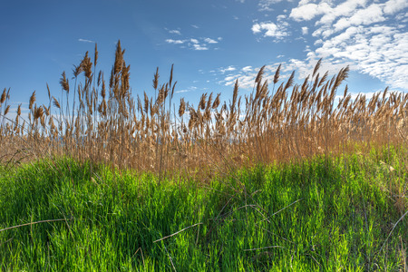 reeds against the sky on a sunny day photo