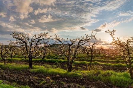 arbres fruitier: floraison jardin avec arbres fruitiers, � l'aube