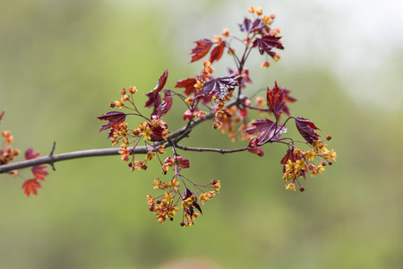 acer platanoides: branch of a blossoming maple in the spring Acer platanoides