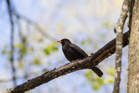 blackbird on a tree branch in the spring photo
