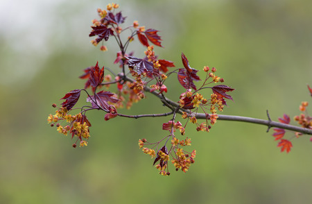 acer platanoides: branch of a blossoming maple in the spring (Acer platanoides)