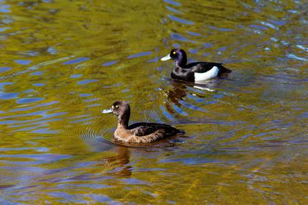two ducks: Two ducks swimming in the water Aythya fuligula Stock Photo