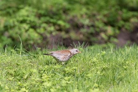 turdus: snowbird on the green spring grass (Turdus pilaris)