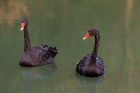 cygnus atratus: portrait of two black swans in the water Stock Photo