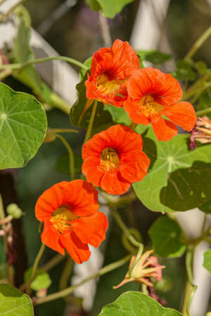 convolvulus: Orange bindweed in the garden close up Stock Photo