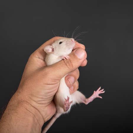 rata: rata divertida bebé en la mano de cerca Foto de archivo