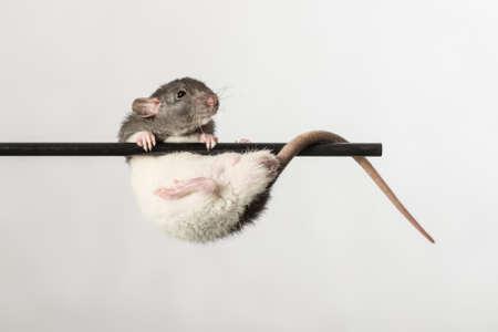 rata: rata bebé en un palo de cerca Foto de archivo