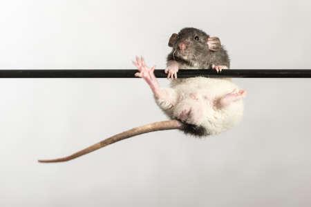 rata: rata beb� en un palo de cerca Foto de archivo
