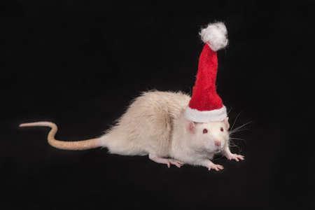rata: domestic rat in a cap of Santa Claus Foto de archivo