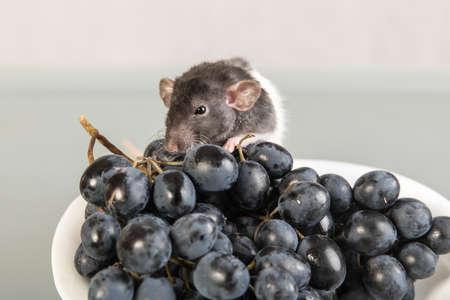 rata: la rata del bebé y las uvas en una placa Foto de archivo