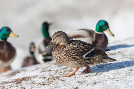 color image mallard duck: Duck on snow close up in winter