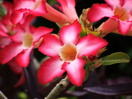 Desert Rose photo