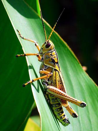 herbivores: Southern Lubber Grasshopper