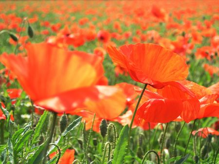 ablooming: Field of poppies - focus only on the poppy on the right side of the picture Stock Photo