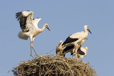 Young storks on the nest - Palatinate Germany photo