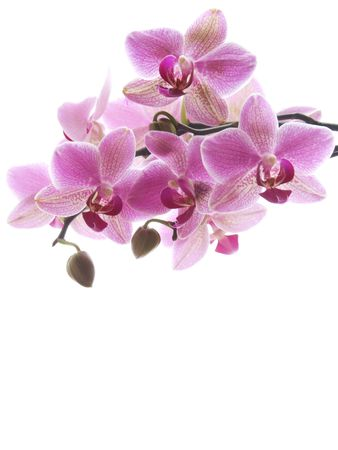Close-up of a purple orchid on white background.