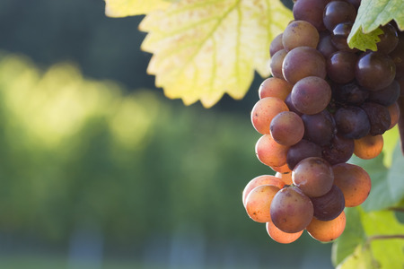 Grapes in the evening sun in a french vineyard Stock Photo