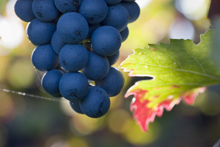 Close-up of a cluster of purple grapes photo