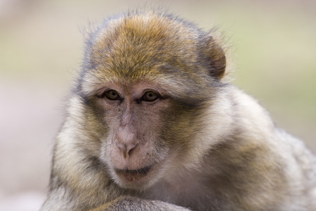 barbary ape: Portrait of a female barbary ape - macaca sylvanus