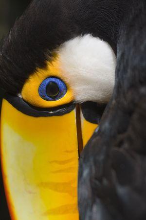 aves: Toco toucan in the Parque das Aves - Foz do Iguacu - Brazil