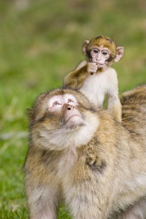 barbary ape: Young barbary ape riding on its mothers back Stock Photo