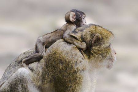barbary ape: Barbary ape with young one on its back Stock Photo