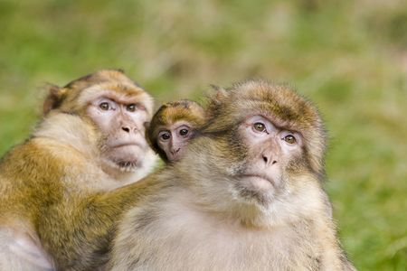 barbary ape: Two barbary apes with  ape