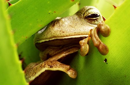 Tropical frog sleeping in a green bromeliad - Brazil. Winner image of the contest  photo