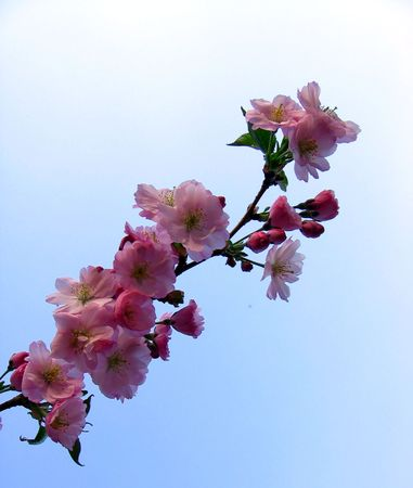 wild asia: cherry blossoms