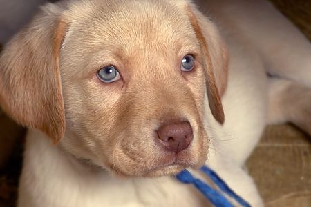 lied: blue eyes puppy lied Stock Photo