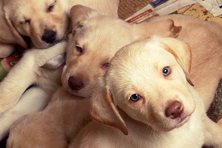 lied: lied puppies