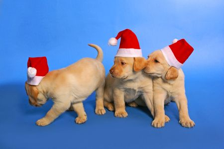 labrador christmas: xmas puppies playing on blue background              Stock Photo