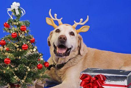 labrador christmas: xmas tree and cute labrador wearing antler