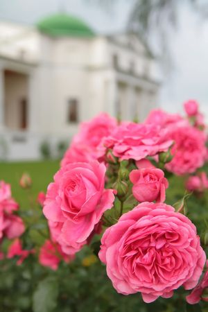 rosebush: town garden, luxurious blossom of the  rosebush on background of the old-time building Stock Photo