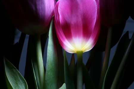 the tulip by pervaded bright light Stock Photo