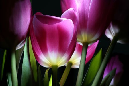 the fairy-tale tulips by pervaded bright light in night town garden Stock Photo - 4514180