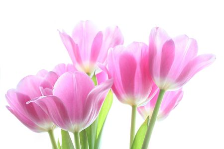 tenderly pink tulips on the white background photo