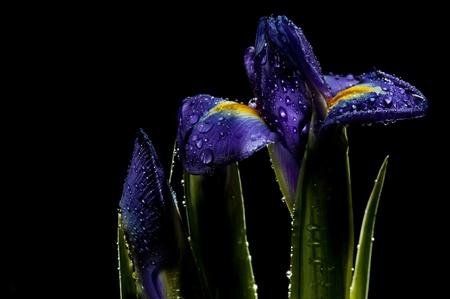 iris in town garden, summer night photo