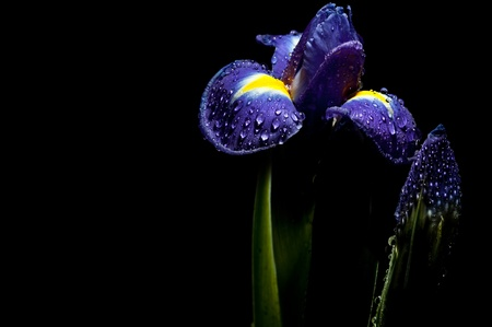 luminous iris in to night garden photo