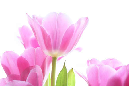 gentile: gentile pink tulips on the white background